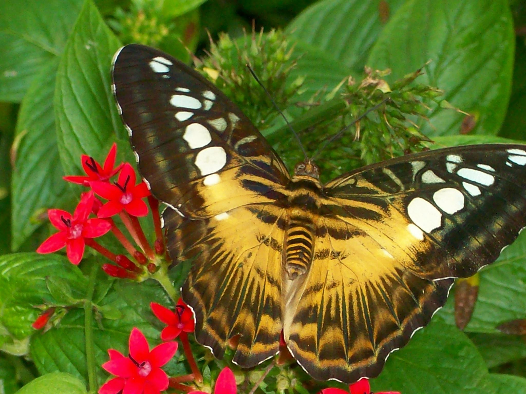 Тропические бабочки картинки с названиями