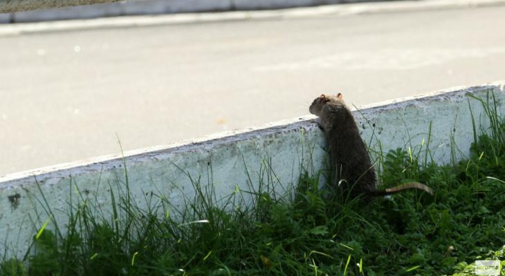 Крыса напала на девушку в парке у цирка