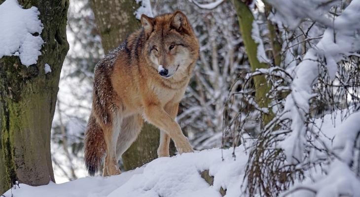 В Кировской области охотникам будут платить за каждого убитого волка