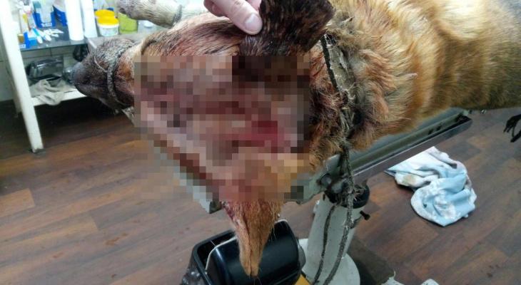 В Котельниче собака выжила после ударов топором по голове