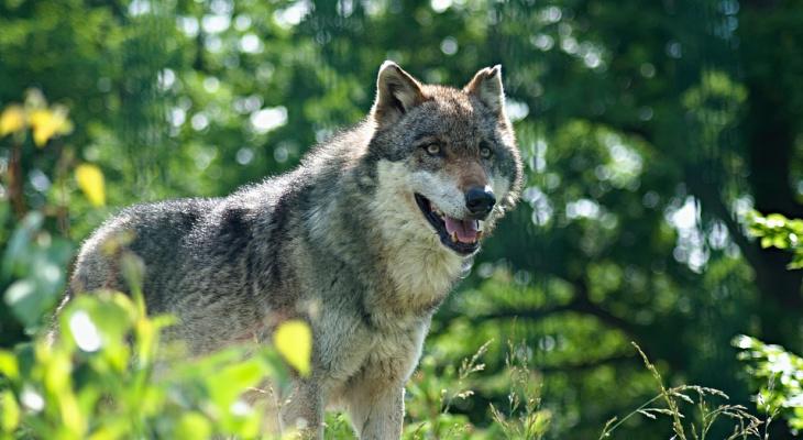 В Кировской области уничтожили 200 волков