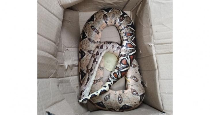 В Радужном дворник нашла в коробке огромную змею