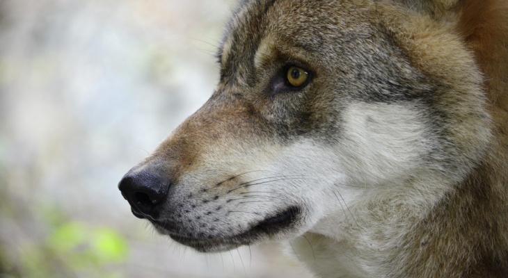 Как волк охотится? Чем питается волк? Особенности охоты на крупную и мелкую дичь, волчья охота стаей