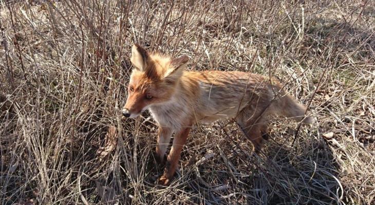 В Кировской области  у лисицы нашли бешенство