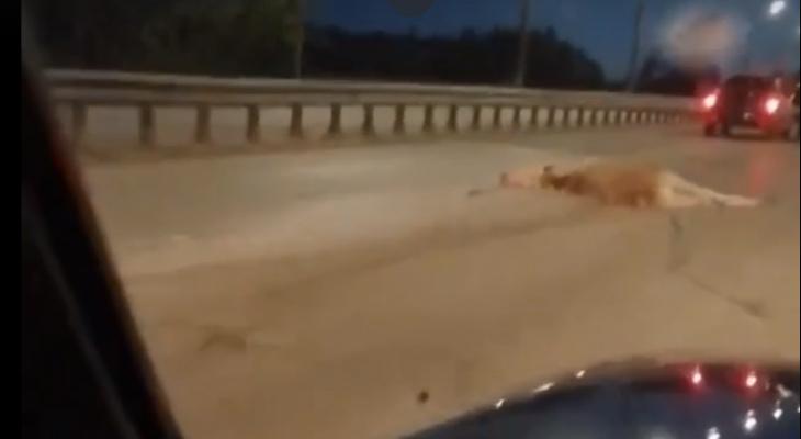 Видео: на улице Производственной «Лада Приора» сбила лося