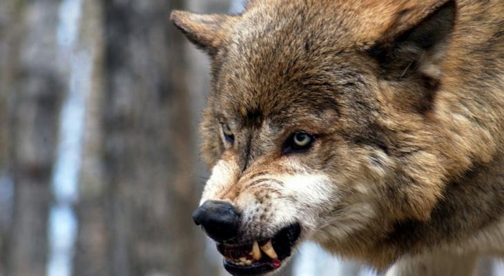 В Кировской области волк начал охотиться рядом с людьми