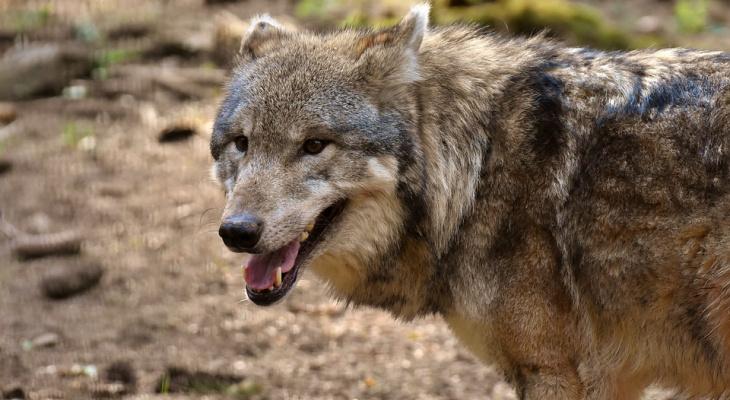 Кировский охотник рассказал, почему волки выходят к людям