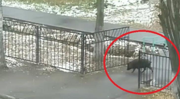 Очевидцы: «У школы в Нововятске бегает кабан!»