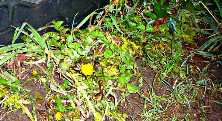 В Кировской области в середине ноября расцвели одуванчики