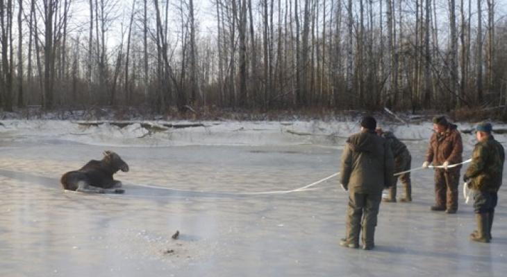 Животные погибали во льду: в Кировской области удалось спасти двух лосей