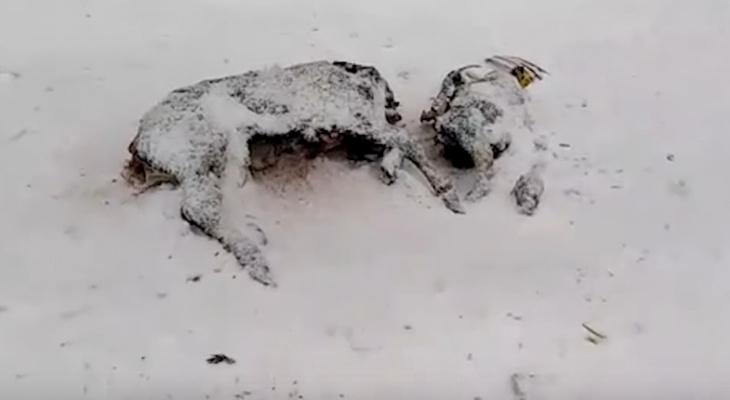 Телята, кошки, свиные головы: в Зуевском лесу нашли свалку с трупами животных
