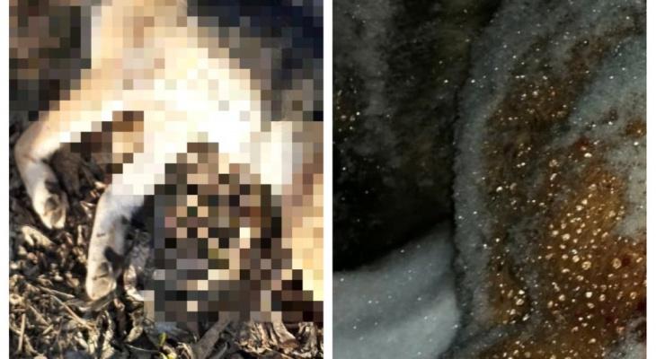 В Кировской области неизвестные убивают собак