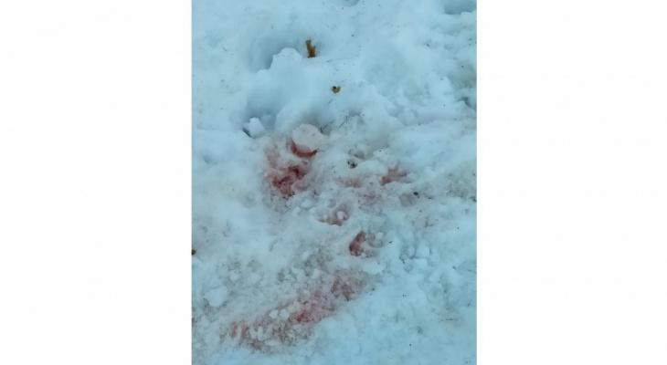 «Волки утащили четвертую собаку!»: в Кировской области хищники бродят по центру села