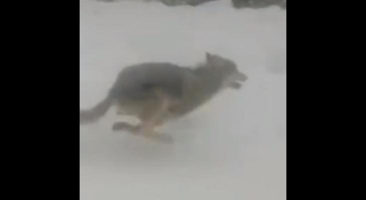 Вышли волки - жди беды: в Кировской области сняли хищников, бегущих по трассе