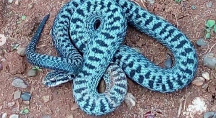 В Котельниче сфотографировали опасную змею