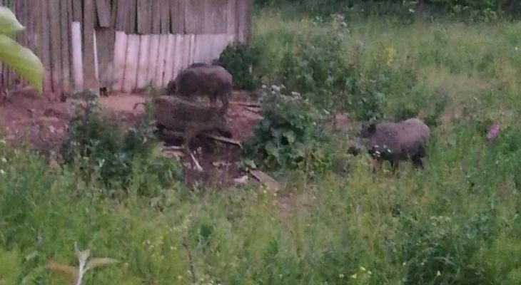«Полпоселка оставили без урожая»: в Кировской области кабаны стадом ходят по участкам