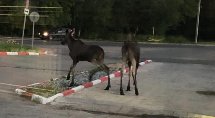 Фото дня: жители Кирова заметили пару лосей на Мельничной