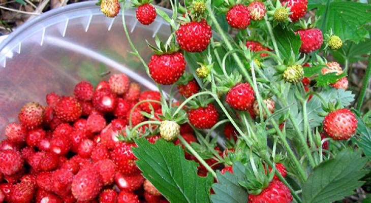Ягоды растут там как на дрожжах: ягодные места Кировской области