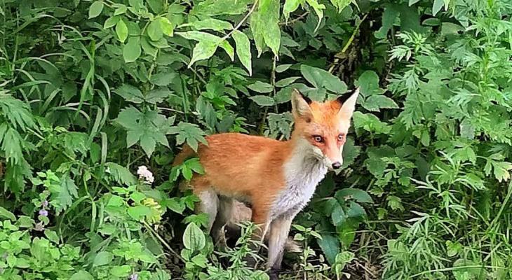 В Заречном парке кировчане заметили лису: фото и видео