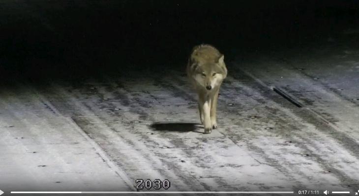 «Каждый год ходят, всех собак съели»: в Кировской области волк зашел в поселок и попал на видео