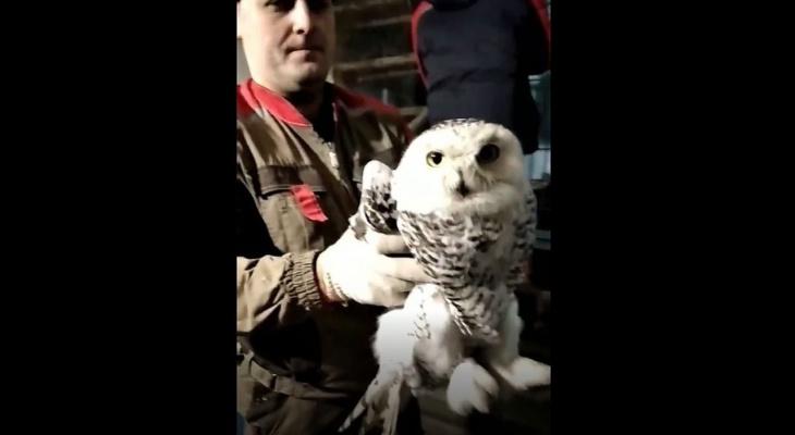 В Кирове рабочие спасли полярную сову на чердаке дома