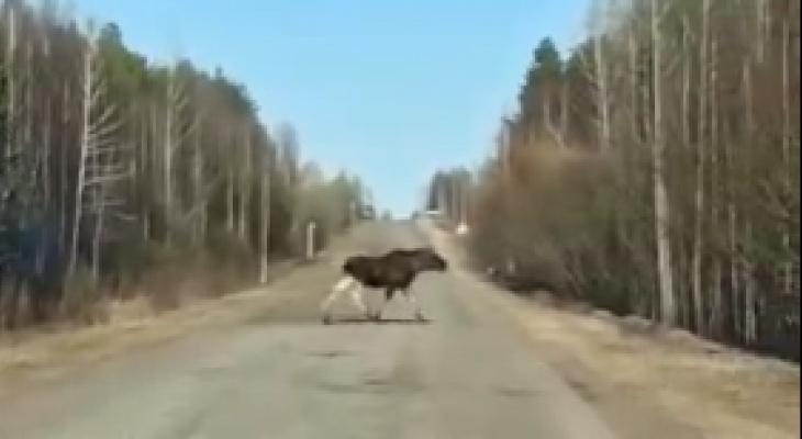 В Кировской области могут участиться ДТП с участием лосей