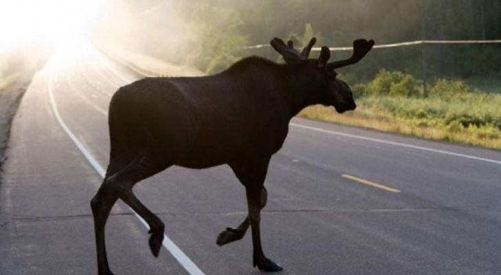 В ГИБДД назвали дороги Кировской области, где могут выбежать лоси