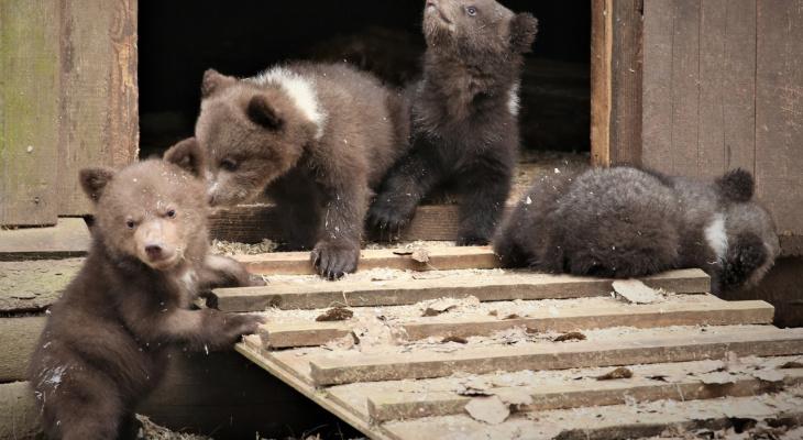 Трех  медвежат, найденных в Опаринском районе, перевезли в лес