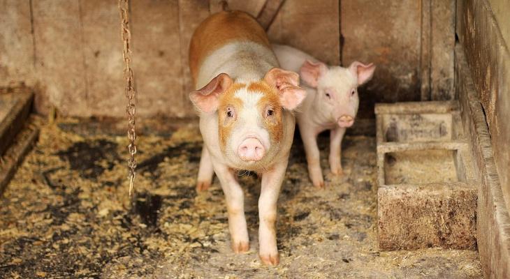 На свиноферме в Кировской области выявили нарушения, опасные для людей