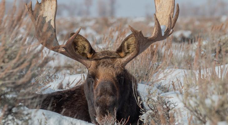 В Кировской области осудили пенсионера, который незаконно добыл лося
