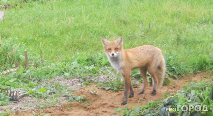 В Кировской области открыли сезон охоты на зайца, лису и енотовидную собаку