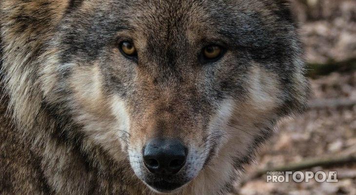 В поселке Пинюг Кировской области гуляют стаи волков и едят собак