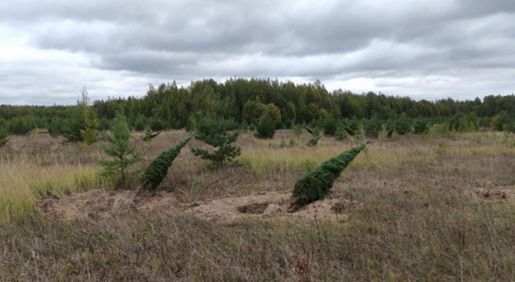 Около 100  сосен незаконно выкопали в Уржумском районе