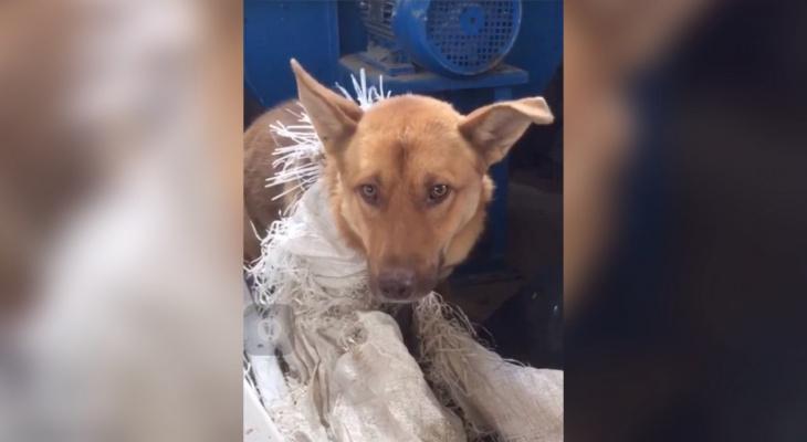 Волонтеры: «На китайском предприятии в Чепецком районе держат замученных собак для еды»