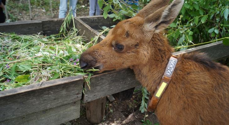 Жителей Кировской области наградили за спасение новорожденного лосенка
